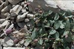 Photo 2/2 Silene vulgaris subsp. prostrata (Gaudin) Schinz & Thell.
