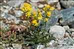Photo 2/2 Solidago virgaurea subsp. minuta (L.) Arcang.