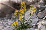 Solidago virgaurea subsp. minuta (L.) Arcang.