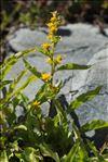 Photo 1/2 Solidago virgaurea subsp. minuta (L.) Arcang.