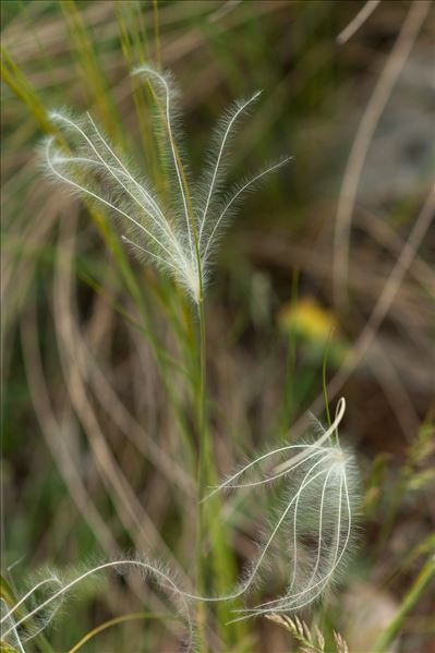 Stipa gallica Celak.