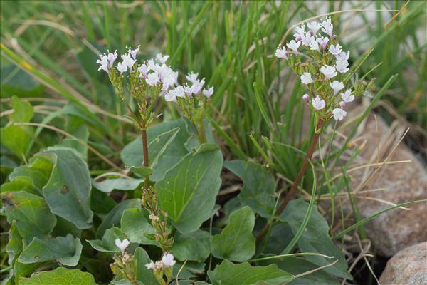 Valeriana rotundifolia Vill.