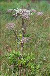 Angelica sylvestris subsp. bernardae Reduron