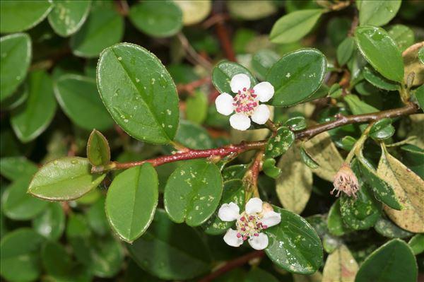 Cotoneaster dammeri C.K.Schneid.