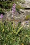 Gymnadenia densiflora (Wahlenb.) A.Dietr.