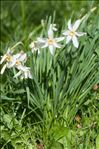 Photo 9/9 Narcissus poeticus L.