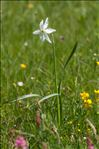 Photo 5/9 Narcissus poeticus L.