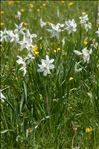 Photo 8/9 Narcissus poeticus L.