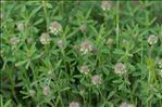 Trifolium arvense L. var. arvense