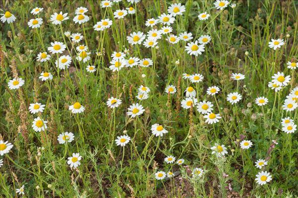 Anthemis arvensis subsp. incrassata (Loisel.) Nyman