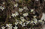 Arenaria multicaulis L.