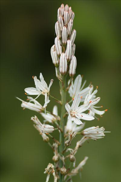 Asphodelus macrocarpus Parl. subsp. macrocarpus
