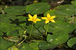 Photo 2/5 Nymphoides peltata (S.G.Gmel.) Kuntze