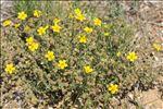 Photo 5/6 Fumana thymifolia (L.) Spach ex Webb