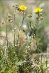 Fumana thymifolia (L.) Spach ex Webb