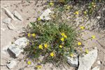 Photo 2/9 Fumana thymifolia (L.) Spach ex Webb