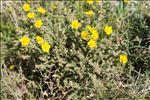 Photo 4/6 Fumana thymifolia (L.) Spach ex Webb
