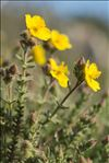 Photo 3/6 Fumana thymifolia (L.) Spach ex Webb