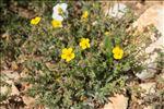 Photo 2/6 Fumana thymifolia (L.) Spach ex Webb