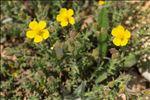 Photo 1/6 Fumana thymifolia (L.) Spach ex Webb