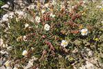Helianthemum violaceum (Cav.) Pers.
