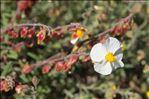 Photo 8/10 Helianthemum violaceum (Cav.) Pers.