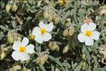 Photo 2/10 Helianthemum violaceum (Cav.) Pers.