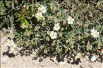 Photo 1/10 Helianthemum violaceum (Cav.) Pers.