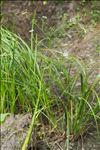 Oenanthe aquatica (L.) Poir.