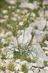 Anthericum liliago L. var. liliago