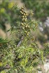 Juniperus oxycedrus L. subsp. oxycedrus
