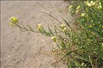 Photo 1/3 Raphanus raphanistrum subsp. landra (Moretti ex DC.) Bonnier & Layens