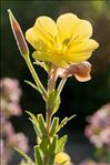 Photo 3/3 Oenothera glazioviana Micheli
