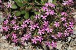 Saponaria ocymoides L. subsp. ocymoides