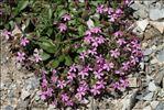 Photo 1/1 Saponaria ocymoides L. subsp. ocymoides