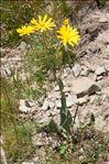 Senecio doronicum (L.) L. subsp. doronicum