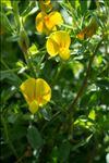 Photo 3/7 Ononis natrix L.