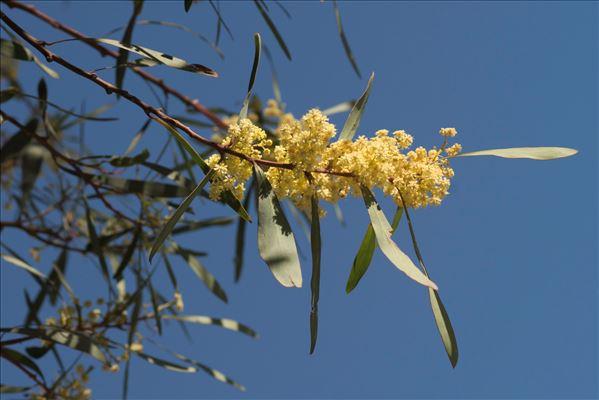 Acacia retinodes Schltdl.