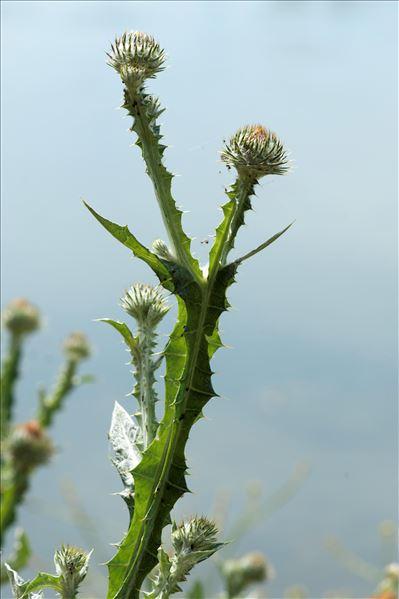Onopordum acanthium L.