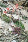 Photo 1/4 Aloe maculata All.
