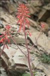 Photo 4/4 Aloe maculata All.