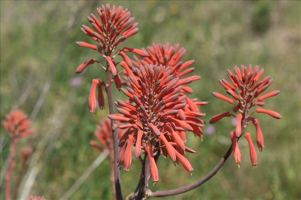Aloe maculata All.