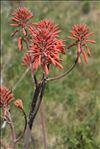 Photo 3/4 Aloe maculata All.