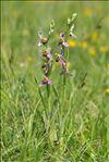 Ophrys apifera Huds. var. apifera