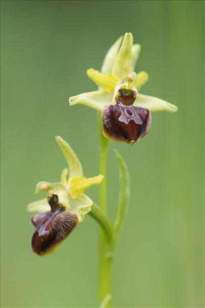 Ophrys aranifera Huds.