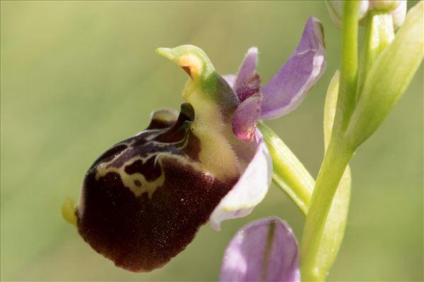 Ophrys fuciflora (F.W.Schmidt) Moench