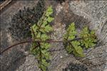 Allosorus tinaei (Tod.) Christenh.