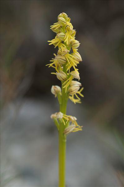 Orchis anthropophora (L.) All.