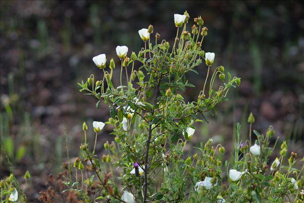 Cistus x florentinus Lam.