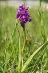 Orchis mascula (L.) L.